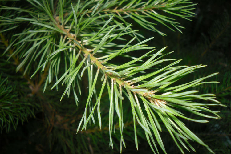 Описание хвойников, чем обрабатывать хвойные весной от болезней и вредителей