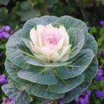 Декоративная капуста: виды, сорта, особенности разведения