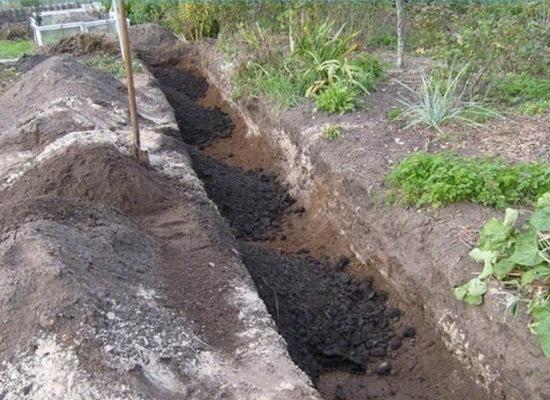 Как посадить виноград черенками осенью в открытый грунт