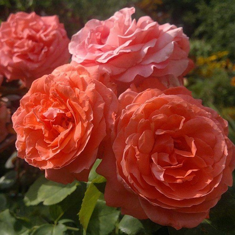 Клаймберы - многолетние кустовые розы для сада: фото и название