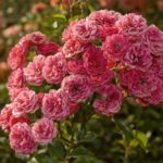 Многолетние кустовые розы для сада, фото и название
