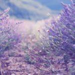 Лаванда: уход осенью, подготовка к зиме