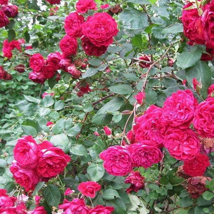 Немецкие многолетние кустовые розы для сада: фото и название