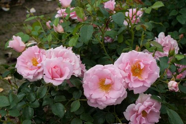 Почвопокровные многолетние кустовые розы для сада: фото и название