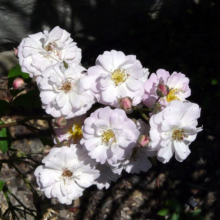 Рамблеры - многолетние кустовые розы для сада: фото и название