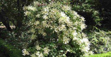 Схизофрагма гортензиевидная - зимостойкость растения
