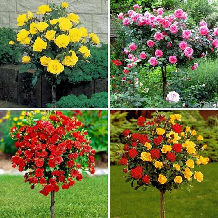 Штамбовые многолетние кустовые розы для сада: фото и название