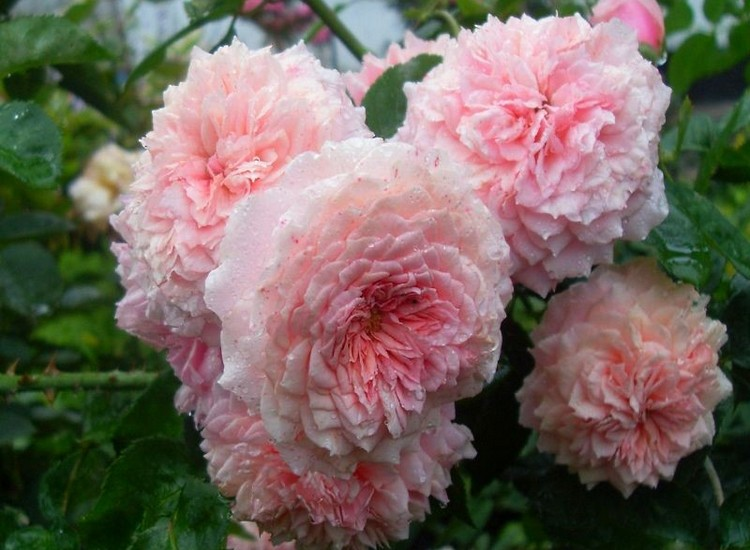 Уильям Кристи - многолетние кустовые розы для сада: фото и название