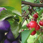 Чем подкормить осенью сливу и вишню