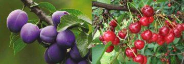 Чем подкормить осенью вишню и сливу