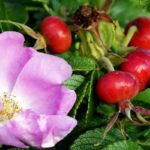 Размножение шиповника черенками осенью