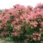 Скумпия: посадка и уход в открытом грунте, фото многоликого кустарника