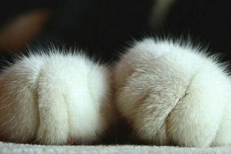 Почему кошки мурлыкают и топчут лапками хозяев